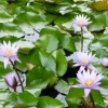 WATER LILIES C-UP