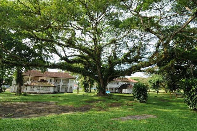 Rain Tree 4